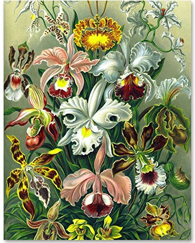 Orchid Botanical Print, Ernst Haeckel - 11x14 Unframed Art Print - Great Gift for Nature Lovers Or Wall Decor for Your Home (Natures Orchids)