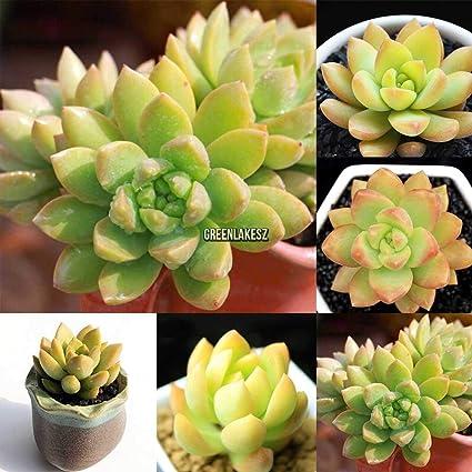100PCS Decor Succulents Seeds Potted Rare Plants Flower Bonsai Home Gardenz