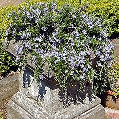 Outsidepride Rosemary Herb Plant Seed - 1000 Seeds : Flowering Plants : Garden & Outdoor