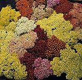 Achillea Yarrow Millefolium Summer Pastels Perennial Seeds