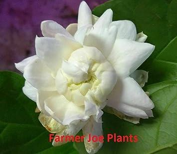 "1 LIVE PLANT 4/"" POT JASMINE GRAND DUKE OF TUSCANY"