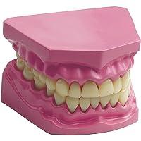 Eğitici Diş Modeli