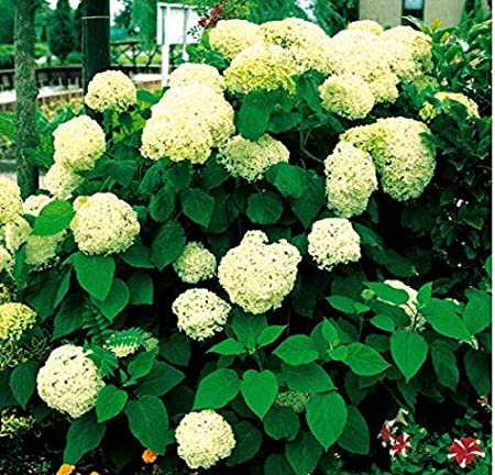 Amazon Com Seeds House Caiuet 30pcs Hydrangea Flower Seeds