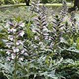 Outsidepride Acanthus Hungaricus Bear's Breeches Flower Seeds - 10 Seeds