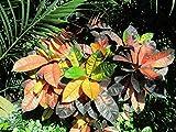 Codiaeum variegatum: Garden Croton