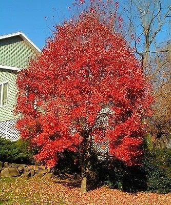 - 15 Seeds - Red Maple Tree Seeds (ACER rubrum)