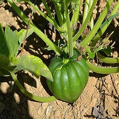 Table King Bush Acorn Winter Squash Garden Seeds - Heirloom, Non-GMO - Vegetable Gardening Seed - AAS Award Winner
