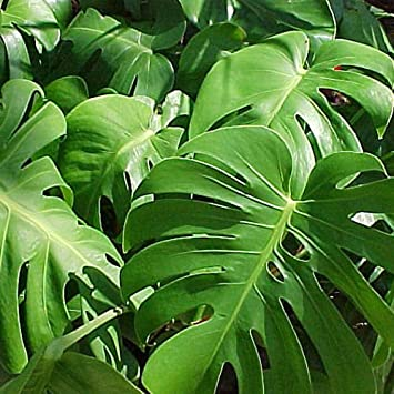 philodendron split leaf monstera deliciosa folage plant pf008