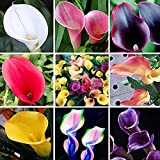 200Pcs Rare Multicolor Calla Lily Flower Seeds Bonsai Home Garden Plant Seed New