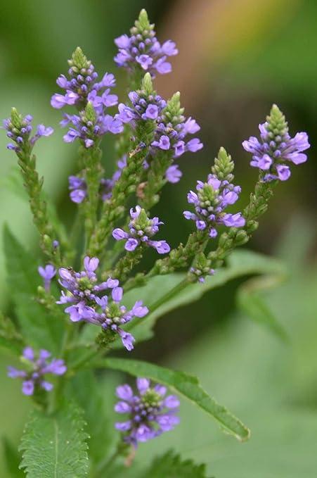 Amazon com : Verbena hastata | Blue Vervain | 1000_Seeds : Garden