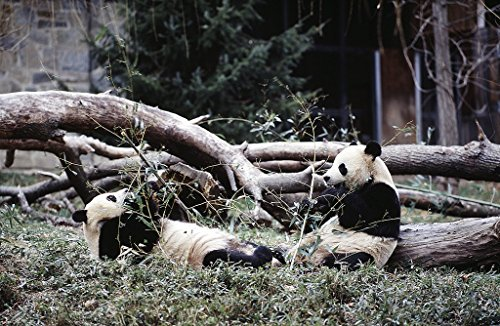 historic pictoric Photograph | Great time for the great pandas at the Washington National Zoo, Washington, D.C.| Fine Art Photo Reporduction 24in x 16in
