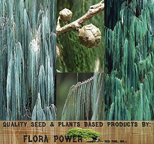 Kashmir Cypress, Cupressus cashmeriana, Tree Seeds - Weeping Fragrant Evergreen - Zones 8 to 11 - Tree Seeds from Flora Power by Red Pine, Inc. (0050 Seeds - Pkt. Size) ()