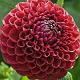 Cornell Giant Ball Dahlia - #1 Size Root Clump - Deep Red!