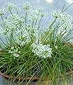 Garlic Chive Seeds - Allium Tuberosum - .25 Gram - Approx 55 Gardening Seeds - Herb Garden Seed