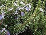 """Arp Rosemary Plant - Cold Hardy - Live Plant - 4"""" Pot"""