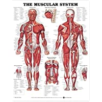 The Muscular System Anatomical Chart (Laminated)