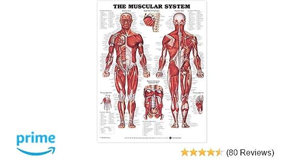 The Muscular System Anatomical Chart Anatomical Chart Company