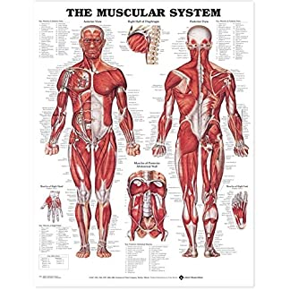 The-Muscular-System-Anatomical-Chart