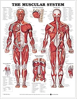 Amazon the muscular system anatomical chart laminated