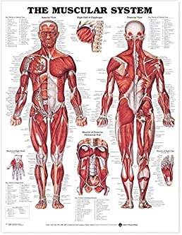 Musculoskeletal system diagram pdf electrical wiring diagram buy the muscular system anatomical chart laminated book online at rh amazon in blank plot diagram pdf iron carbon diagram pdf ccuart Gallery
