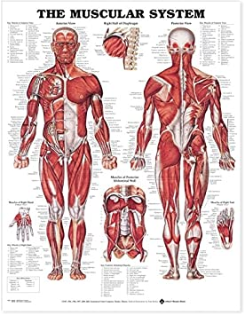 Anatomical Chart Company Poster Motif The Muscular System 20 x 26 cm Poster Revolution 98946