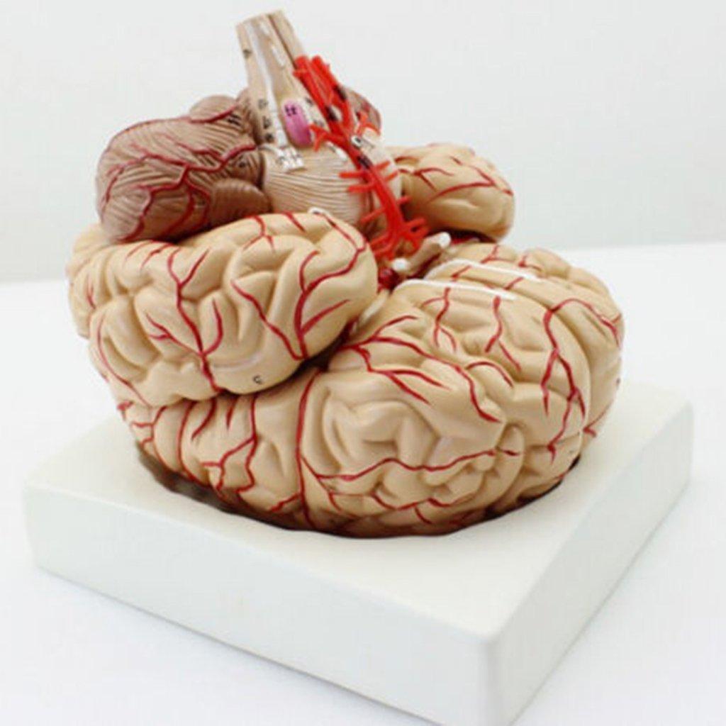 Homyl Gehirn Anatomie Anatomisches Modell Wissenschaft Labor Schule ...
