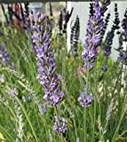 Findlavender - Lavender Plant Phenomenal - 4'' Size Pots - Zones 5 - 10 - Bee Friendly - Attract Butterfly - Evergreen Plant - 18 Live Plants