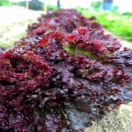 - Leaf Lettuce Garden Seeds - Ruby Red - 1 Lbs - Non-GMO, Heirloom Vegetable Gardening & Salad Greens Microgreens Seed
