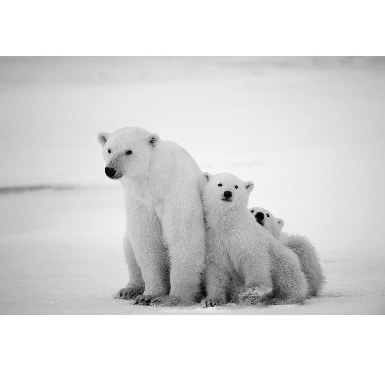 Cartel/Lienzo - Blanco Oso Polar - animales naturaleza - Rojo Cabina ...