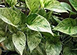 'Marble Queen' Devil's Ivy - Pothos - Epipremnum