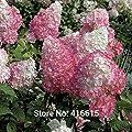 Hydrangea Seeds Hydrangea paniculata Vanilla Strawberry Seeds Naturia Hydrangea Macrophylla Home Garden White Flower Bonsai Seed