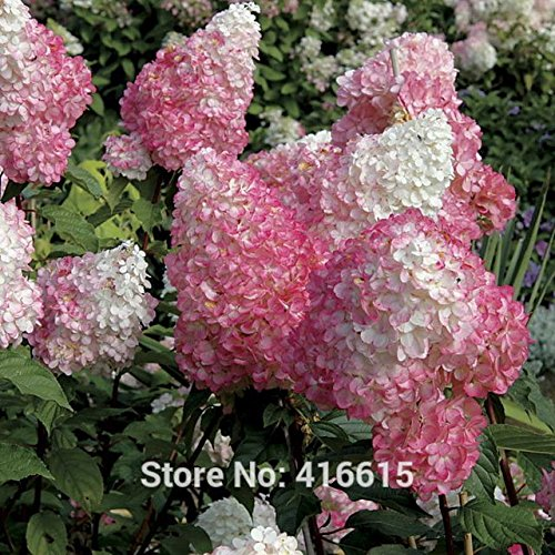Flowers To Plant Fall - Hydrangea Seeds Hydrangea paniculata Vanilla Strawberry Seeds Naturia Hydrangea Macrophylla Home Garden White Flower Bonsai Seed