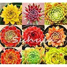 100 Pcs Amazing Sempervivum Plants Mixed Mini Garden Succulents Cactus Seeds Perennial -House Leeks Live Forever Easy To Grow 21