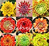 100 Pcs Amazing Sempervivum Plants Mixed Mini Garden Succulents Cactus Seeds Perennial -House Leeks Live Forever Easy To Grow 21