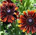 New Heirloom Orange Black Echinacea PurpureaSeeds Coneflowers, 100+ Seeds