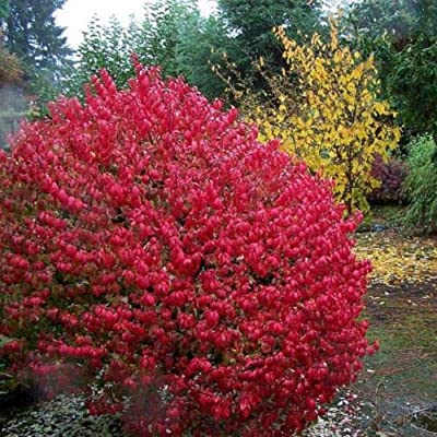 20+ Seeds Burning Bush Euonymus Alatus : Garden & Outdoor