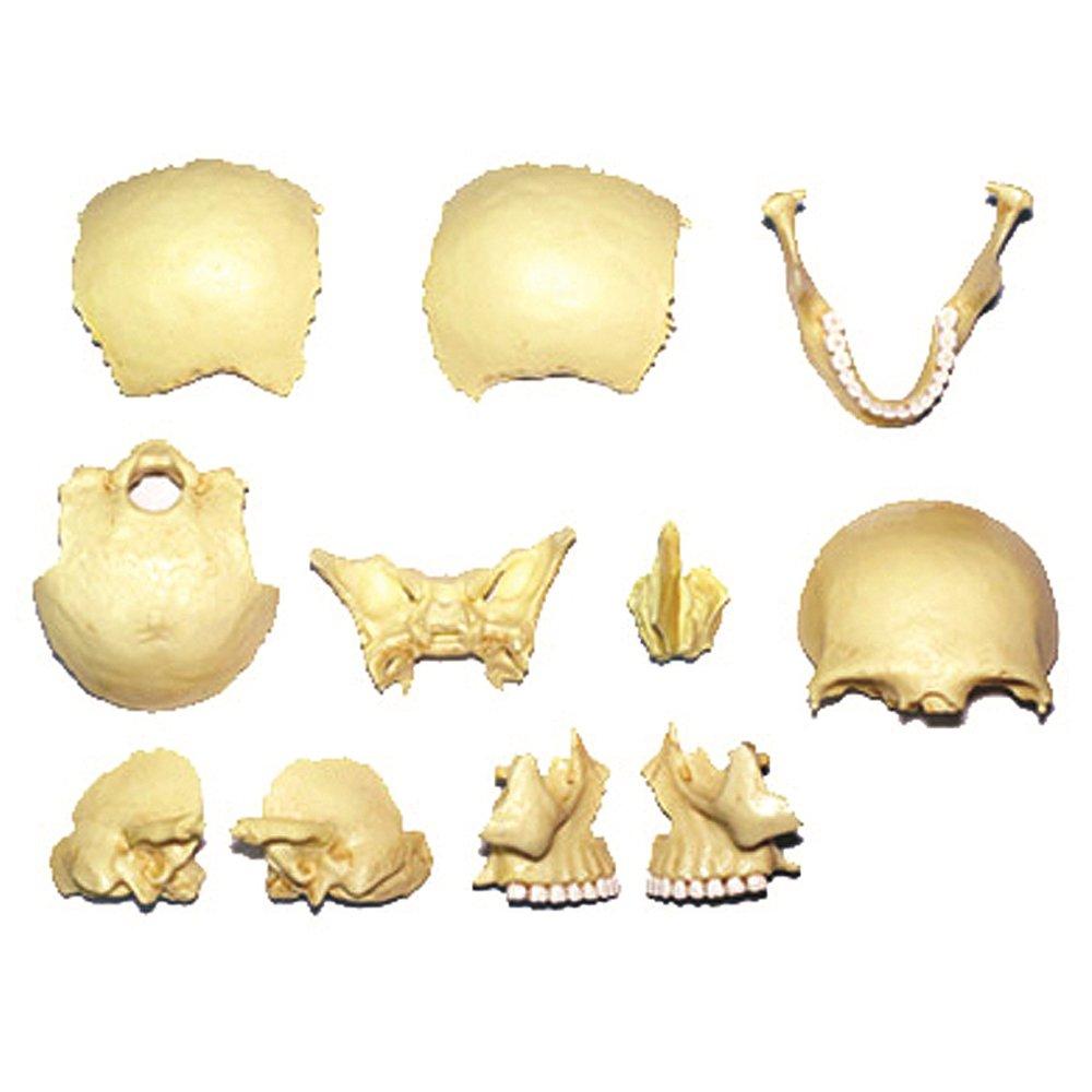 Amazon.com: 4D Master 26086 Human Anatomy Exploded Skull Model 3D ...