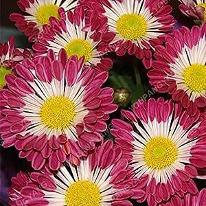 Semillas 100PCS crisantemo en el Bonsai Perenne Flores Plantas Semillas hermosa flor Pot para Mini Garden 25 Colores disponibles 14