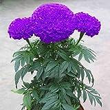 100Pcs Purple Marigold Flower Seeds for Garden Pots Planting