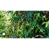 Coffee Bean Plant Seeds ★ BRAZILIAN PEABERRY ★ Tropical Coffee Plant ★ 25 Seeds