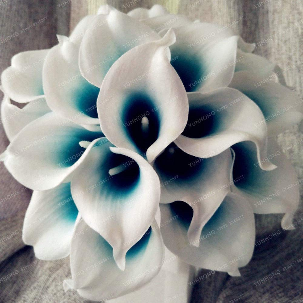Amazon Com 4 Bulbs Royal Blue Calla Lily Bulbs Calla Lily