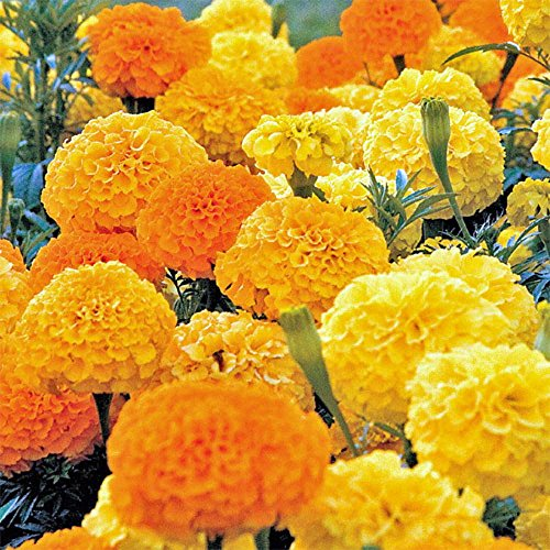 Mary Gold Flower - 2000 African Marigold Seeds Crackerjack Mix, by Seeds2Go