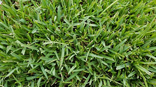 Gulf Kist 'Classic' St Augustine Grass Plugs - 36 Count (St Augustine Grass Seed Mix)