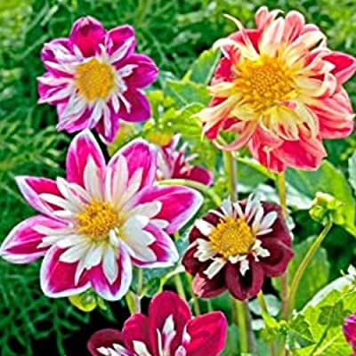 Halffle Seedhouse- Rare Dahlia Seeds Exotic Mix Flower Seeds Perennial Hardy for Garden Balcony/Terrace : Garden & Outdoor