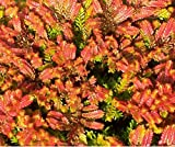HEIRLOOM NON GMO Firefly Heather (Calluna Vulgaris) 25 seeds