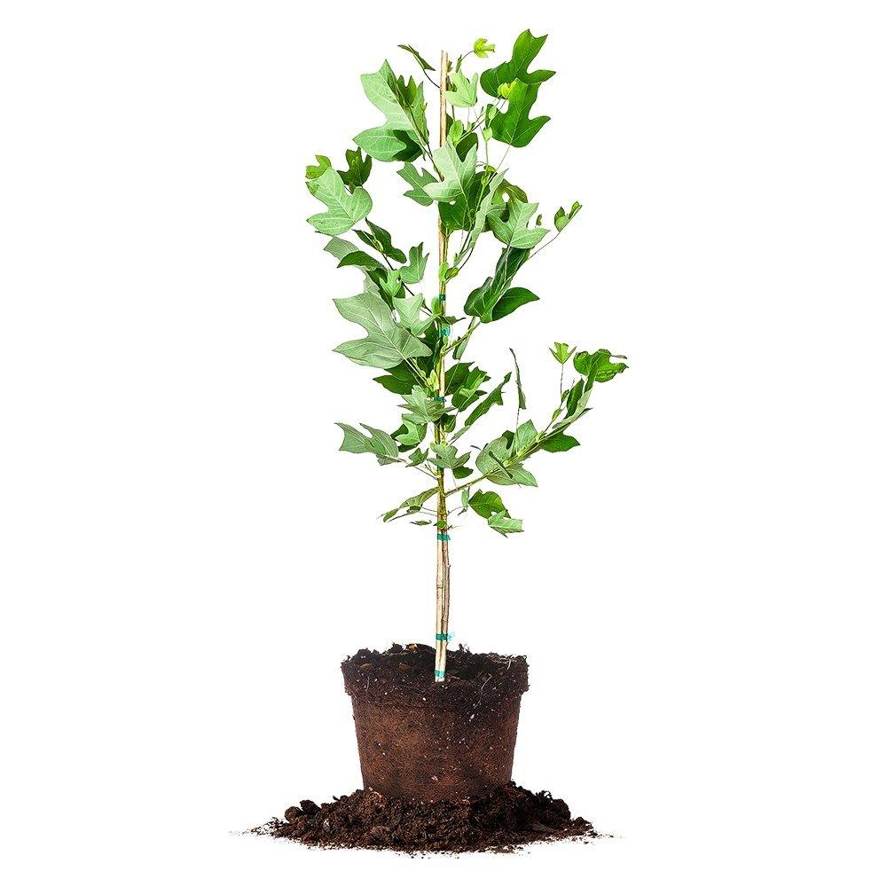 Tulip Poplar - Size:  5-6 ft, live plant, includes special blend fertilizer & planting guide by PERFECT PLANTS (Image #1)
