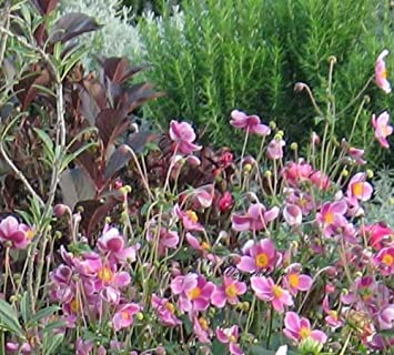 Anemone Hupehensis Septembercharme Herbstanemone