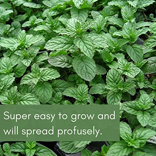 Clovers Garden Peppermint Mint Herb Plants- Non GMO- Two (2) Live Plants - Not Seeds -Each 4''-7'' tall- in 3.5 Inch Pots by Clovers Garden (Image #2)