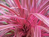 "9EzTropical - Electric Pink Cordyline- 1 Plants - 1 Feet or Taller - Ship in 4"" Pot"