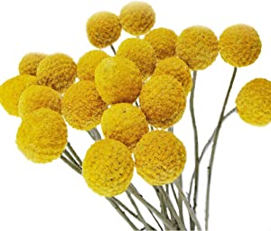 Color Life 30 Stems Natural Dried Flower - Craspedia/Billy Balls